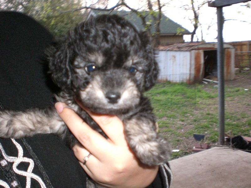 Yorkiepoo Puppies - MaltipooPup.com